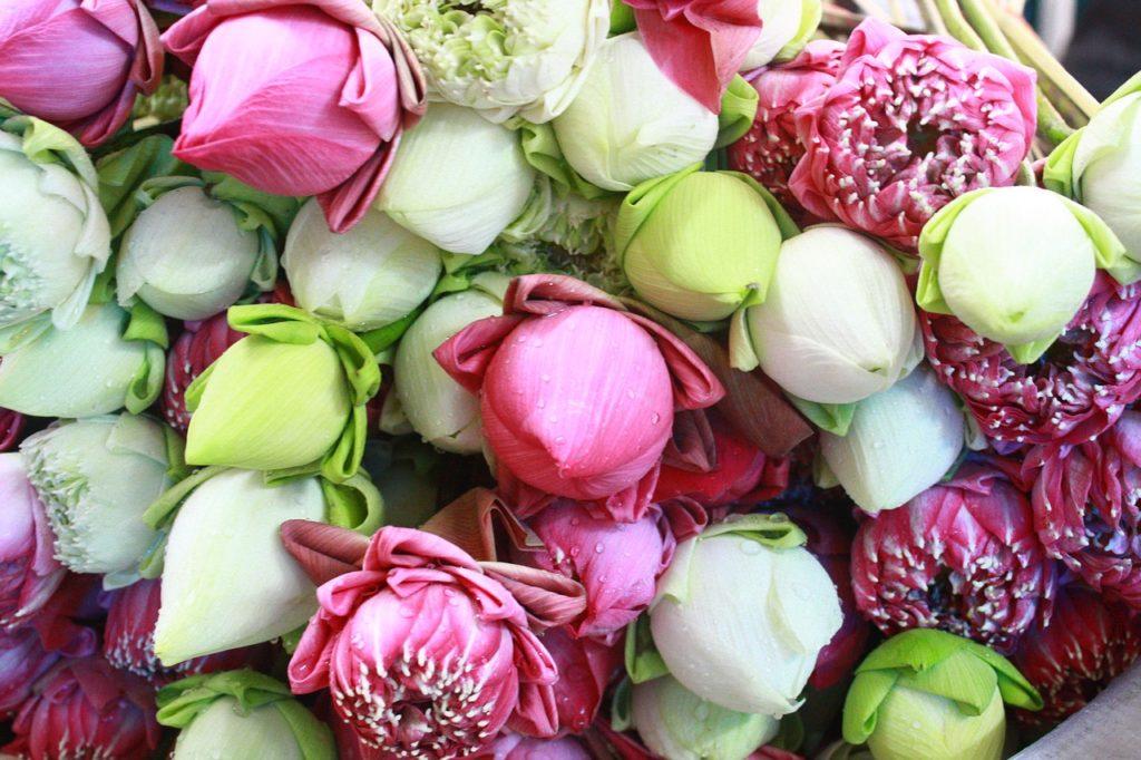 niderlandica, tulipany, odmiany