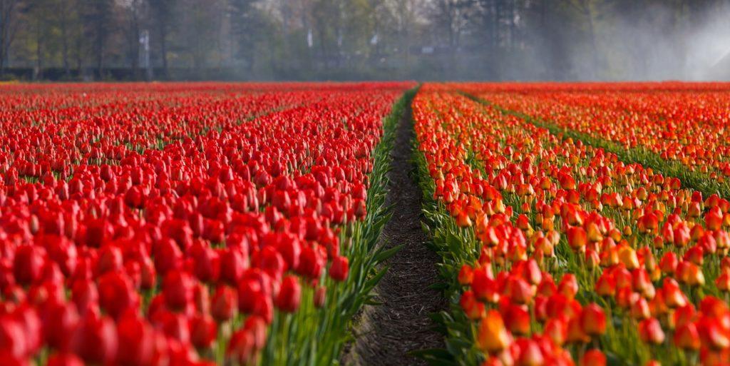niderlandica, tulipany