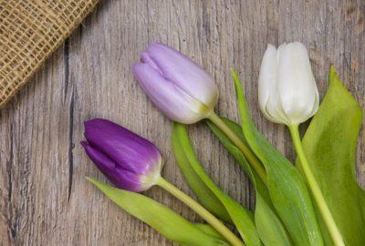 niderlandica, tulipan, holenderska bańka spekulacyjna